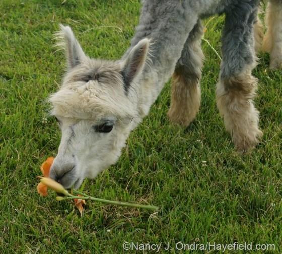 Daylilies: a favorite alpaca snack