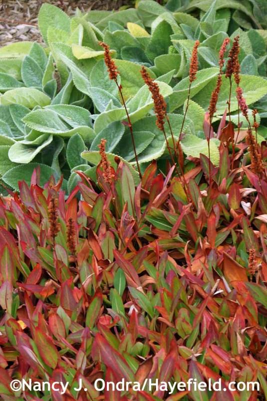 Persicaria affinis at Hayefield.com