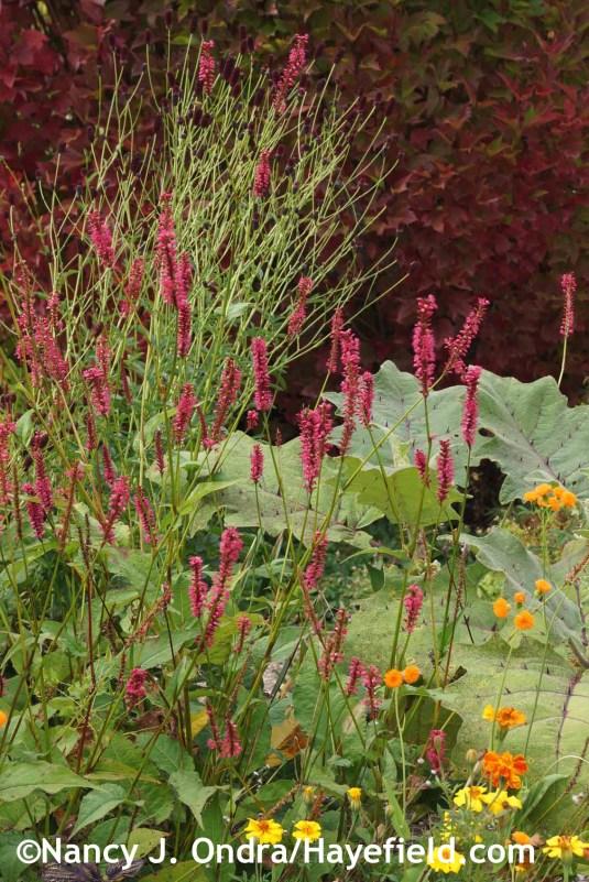 Persicaria amplexicaulis Taurus at Hayefield.com