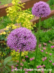 Allium Gladiator at Hayefield.com