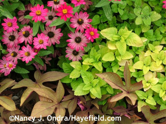 'All Gold' lemon balm (Melissa officinalis) with 'Profusion Cherry' zinnia and 'Sweet Caroline Bronze' sweet potato vine (Ipomoea batatas) at Hayefield.com