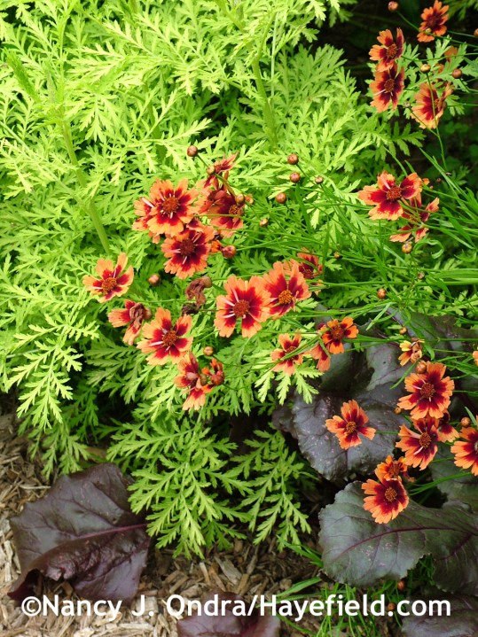 'Isla Gold' tansy (Tanacetum vulgare) with 'Desert Coral' coreopsis and 'Bull's Blood' beet at Hayefield.com
