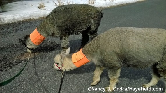 Holy cow - look at that pothole. It's bit enough to eat an alpaca.