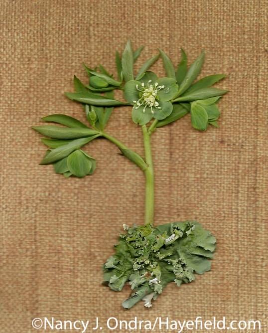 Green hellebore (Helleborus viridis) with lichen at Hayefield.com