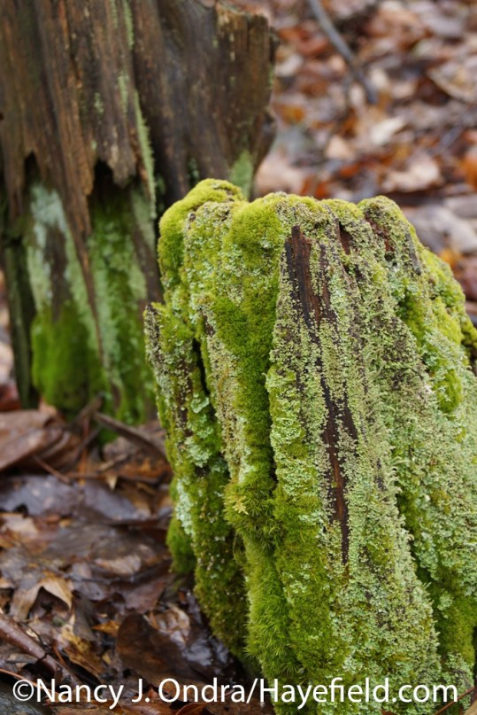 Mosses and LIchens - Milford Township, PA