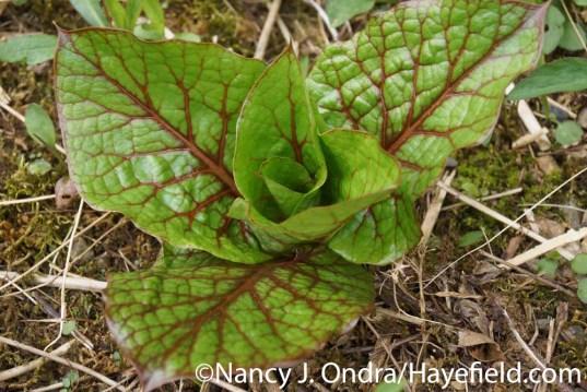 Cardiocrinum seedling at Hayefield.com