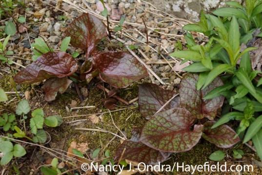Cardiocrinum seedlings at Hayefield.com