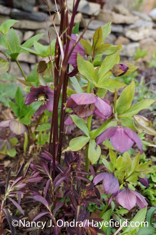 Helleborus x hybridus with Clematis stems and Euphorbia dulcis Chameleon at Hayefield.com