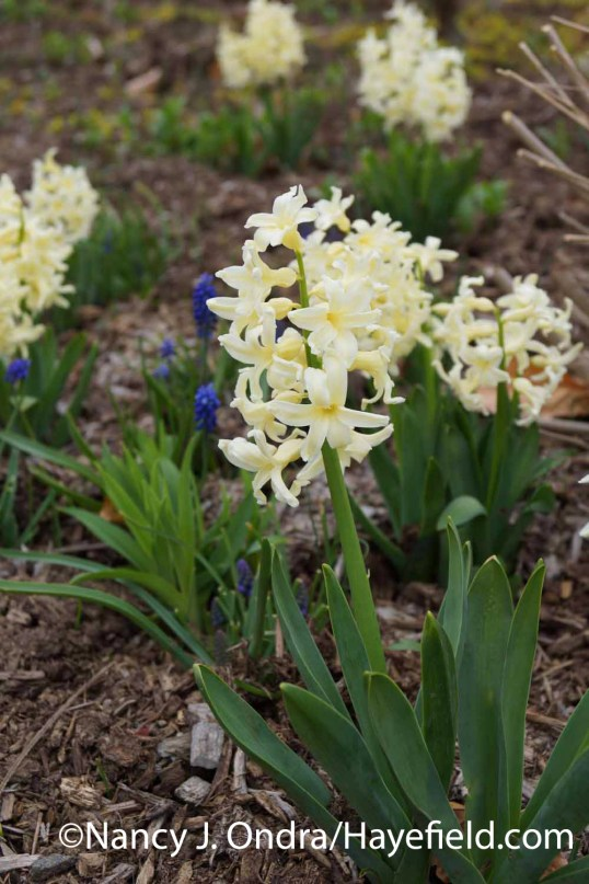 Hyacinthus Yellow Queen at Hayefield.com