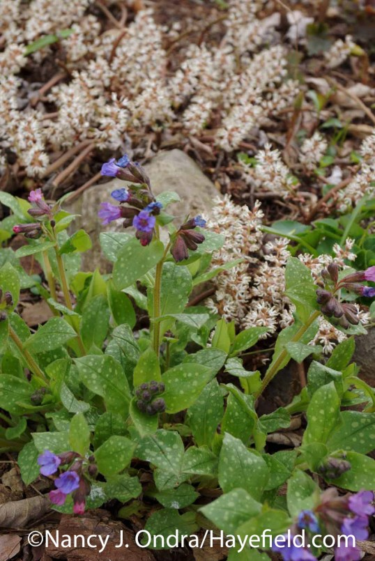 Pulmonaria saccharata with Pachysandra procumbens at Hayefield.com