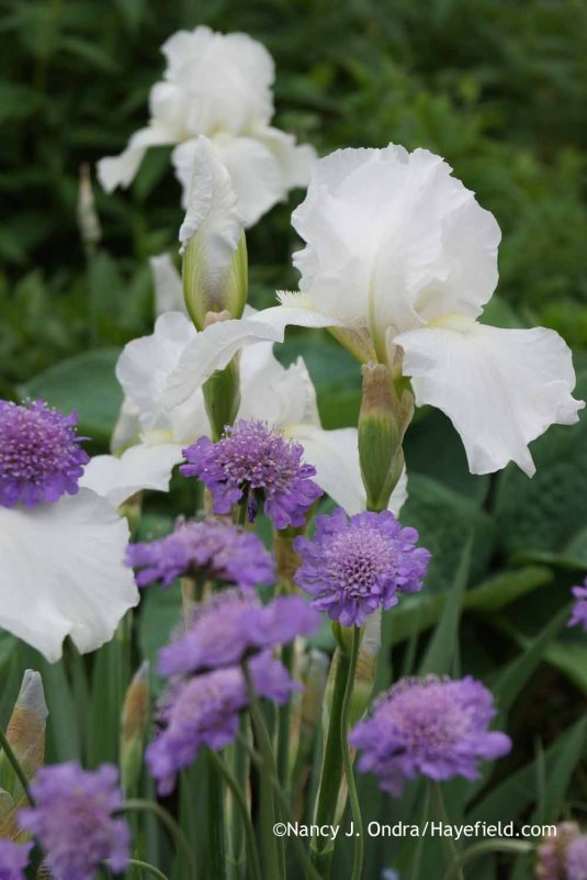 Iris Immortality and Scabiosa Butterfly Blue at Hayefield.com