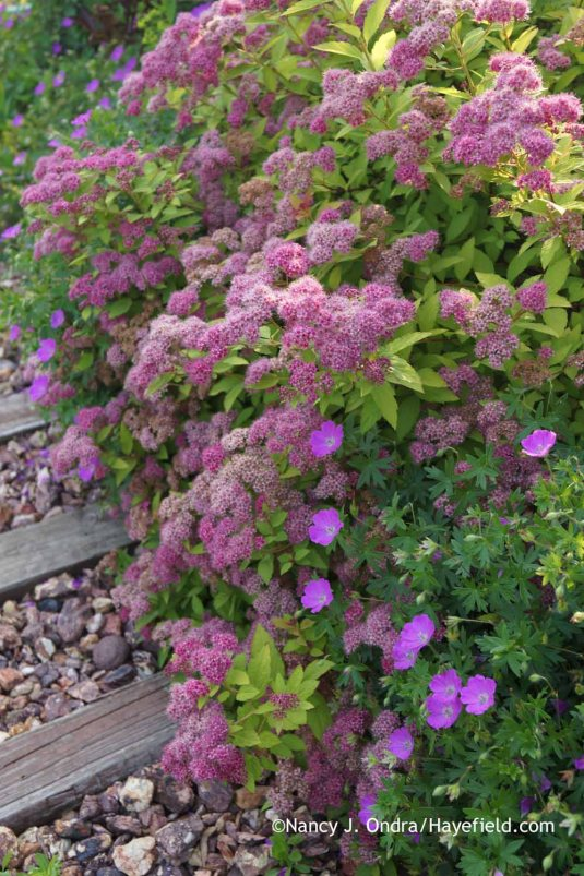 Spiraea japonica 'Walbuma' [Magic Carpet] with Geranium sanguineum at Hayefield.com
