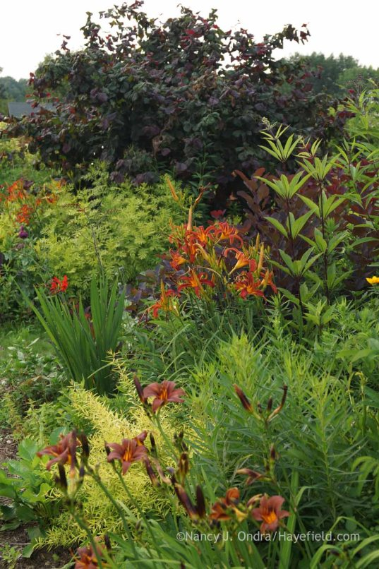Hemerocallis 'Nona's Garnet Spider' and 'Milk Chocolate' with Spiraea thunbergii 'Ogon' [Mellow Yellow], Crocosmia 'Lucifer', Eupatorium maculatum, Tanacetum vulgare 'Isla Gold', and Corylus avellana 'Red Majestic'; Nancy J. Ondra at Hayefield