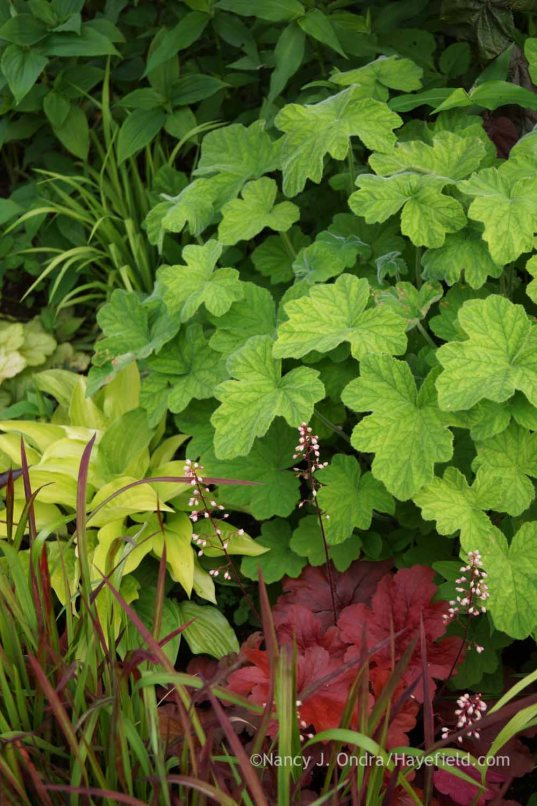 Pelargonium tomentosum with Hosta 'Fire Island', Heuchera 'Fire Alarm', and Imperata cylindrica 'Rubra'; Nancy J. Ondra at Hayefield