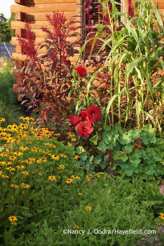 Amaranthus 'Hopi Red Dye' with podcorn ( Zea mays var. tunicata), Hibiscus 'Fireball', Tropaeolum majus, and Rudbeckia fulgida; Nancy J. Ondra at Hayefield
