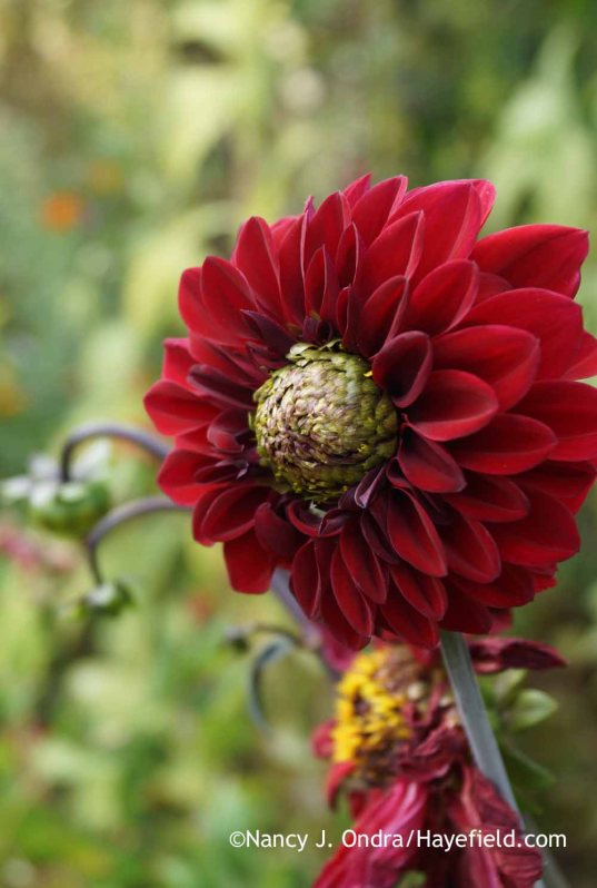Dahlia 'Karma Choc' seedling in bloom; Nancy J. Ondra at Hayefield
