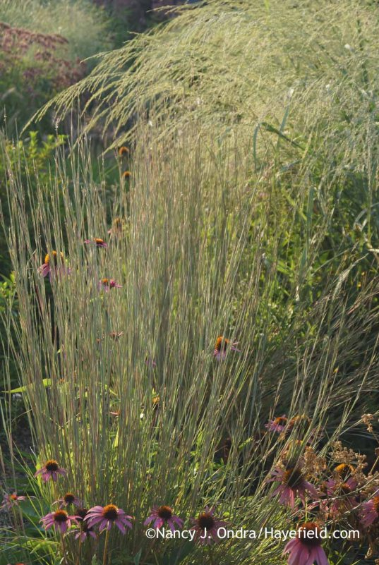 Schizachyrium scoparium 'The Blues' and Panicum amarum 'Dewey Blue'; Nancy J. Ondra at Hayefield