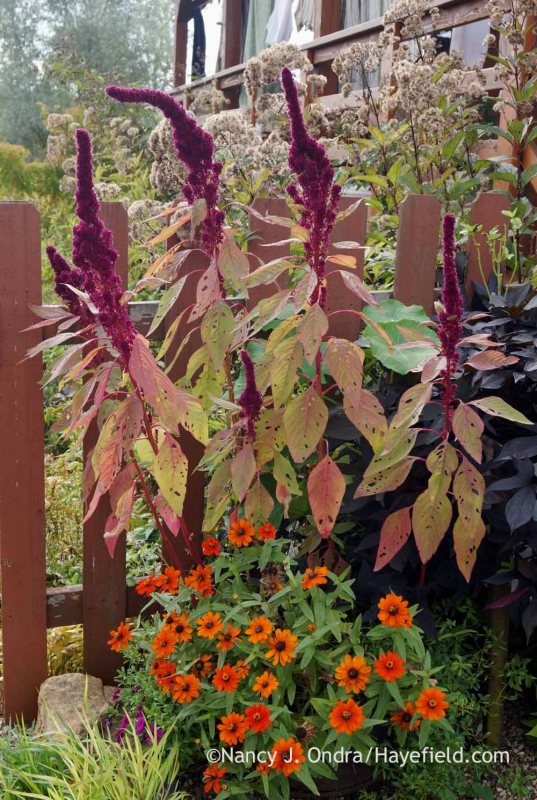 'Elephant Head' amaranth (Amaranthus) and 'Profusion Orange' zinnia; Nancy J. Ondra at Hayefield