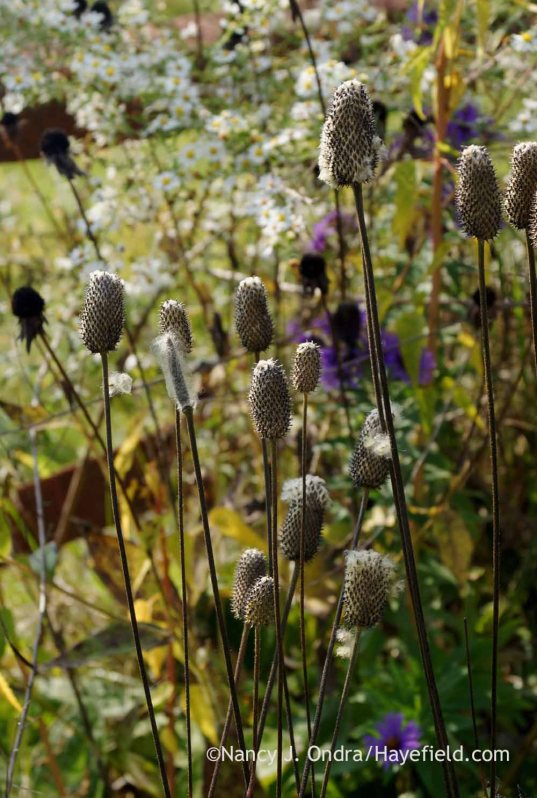 Tall thimbleweed (Anemone virginiana) seedheads; Nancy J. Ondra at Hayefield