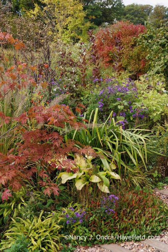 Front garden vignette with 'Sun Power' hosta, dwarf fleeceflower (Persicaria affinis), plantain-leaved sedge (Carex plantaginea), Japanese maple (Acer palmatum), 'Hella Lacy' New England aster (Symphyotrichum novae-angliae), and 'Gerald Darby' iris (Iris x robusta); Nancy J. Ondra at Hayefield