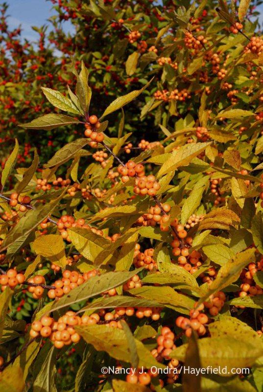 'Winter Gold' winterberry (Ilex verticillata); Nancy J. Ondra at Hayefield