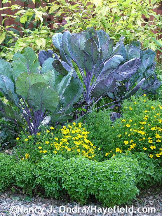'Pistou' basil (Ocimum basilicum) with 'Lemon Gem' marigolds (Tagetes tenuifolia) and 'Rubine' Brussels sprouts at Hayefield.com