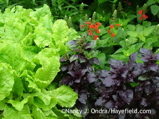 'Red Rubin' basil (Ocimum basilicum) with 'Australian Yellow' lettuce and 'Lady in Red' Texas sage (Salvia coccinea) in late June; Nancy J. Ondra at Hayefield