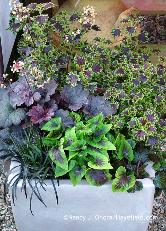 Delightfully dark: Black mondo grass (Ophiopogon planiscapus 'Nigrescens') with 'Gotham' heuchera (Heuchera), 'Sibila' coleus (Solenostemon scutellarioides), Black Scallop ajuga (Ajuga reptans 'Binblasca'), and 'Heartthrob' violet (Viola). [Nancy J. Ondra at Hayefield]