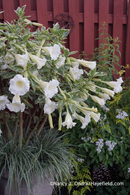 Variegated angel's trumpet (Brugmansia suaveolens 'Variegata') makes a spectacular show of foliage, flowers, and fragrance in a large container. [Nancy J. Ondra at Hayefield]