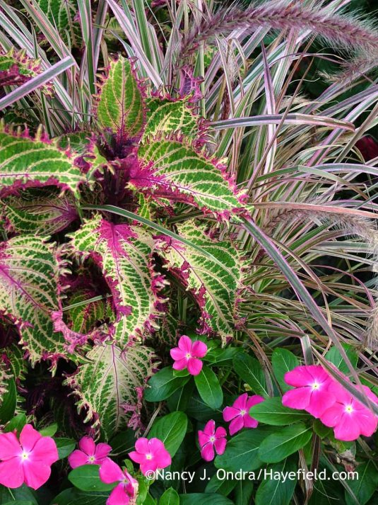 Pretty in pink: 'Cherry Sparkler' fountain grass (Pennisetum setaceum) with 'Pink Ruffles' coleus (Solenostemon scutellarioides) and 'Cora Pink' rose periwinkle (Catharanthus roseus) [Nancy J. Ondra at Hayefield]