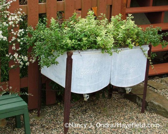A raised planter (in this case, an old washtub) keeps this pairing of peppermint (Mentha x piperita) and pineapple mint (M. suaveolens 'Variegata') under control--and in easy reach for harvesting, too. [Nancy J. Ondra at Hayefield]