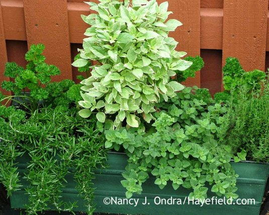 A windowbox-type planter holds a variety of trailing, bushy, and upright culinary herbs and keeps them handy for quick harvesting. [Nancy J. Ondra at Hayefield]