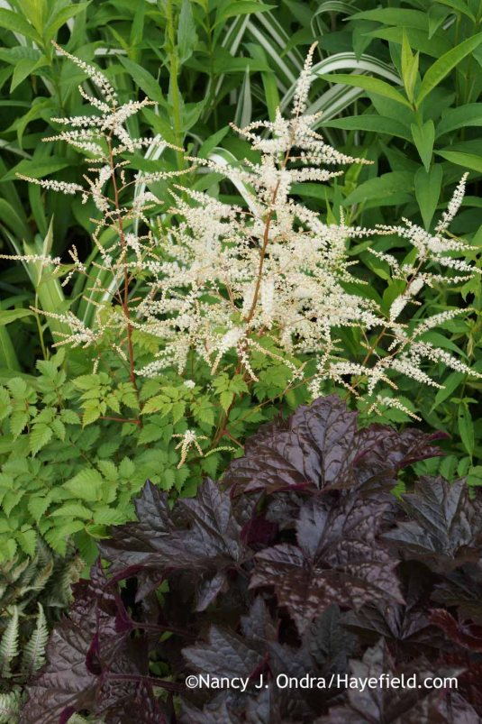 'Blackout' heuchera (Heuchera) with 'Misty Lace' goatsbeard (Aruncus) in early June; Nancy J. Ondra at Hayefield
