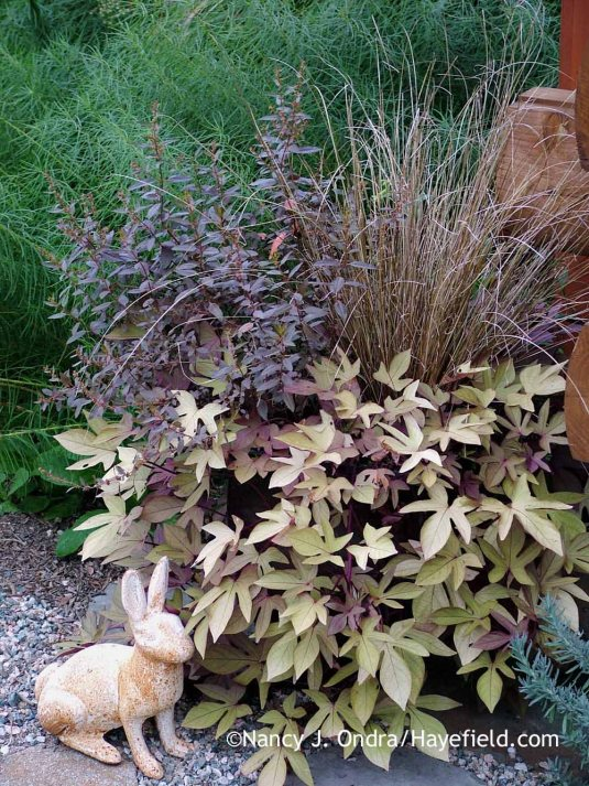 A study in brown: 'Sweet Caroline Bronze' sweet potato vine (Ipomoea batatas) with leatherleaf sedge (Carex buchananii) and 'Wellington Bronze' toatoa (Haloragis erecta) [Nancy J. Ondra at Hayefield]