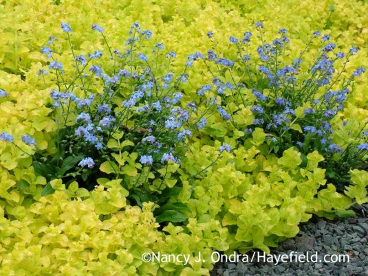 Left unsupervised, a patch of golden creeping Jenny (Lysimachia nummularia 'Aurea') can quickly overgrow less vigorous bedmates, such as these 'Ultramarine' forget-me-nots (Myosotis sylvatica). [Nancy J. Ondra at Hayefield]