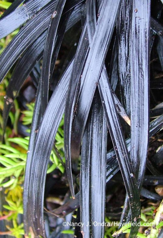 Black mondo grass (Ophiopogon planiscapus 'Nigrescens') in mid-January; Nancy J. Ondra at Hayefield