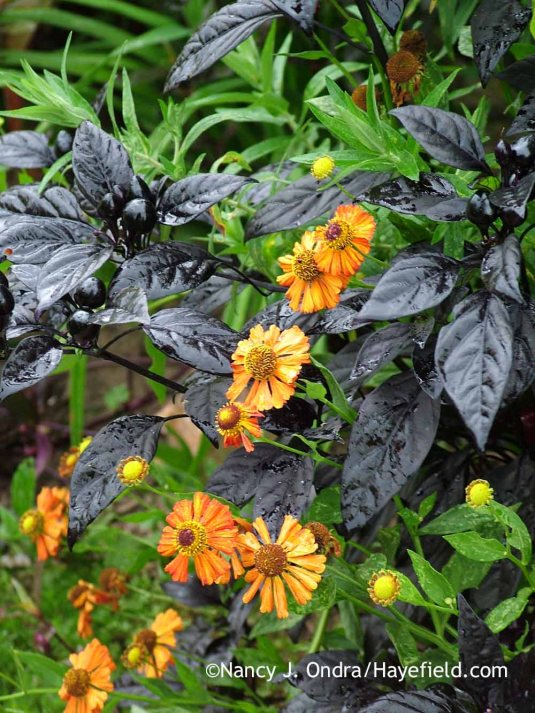 'Black Pearl' pepper (Capsicum annuum) with 'Coppelia' helenium (Helenium) in early September; Nancy J. Ondra at Hayefield