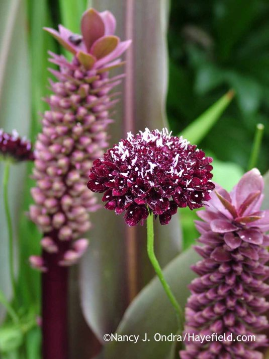 'Black Knight' pincushion flower (Scabiosa atropurpurea) with 'Oakhurst' pineapple lily (Eucomis comosa) in late July; Nancy J. Ondra at Hayefield