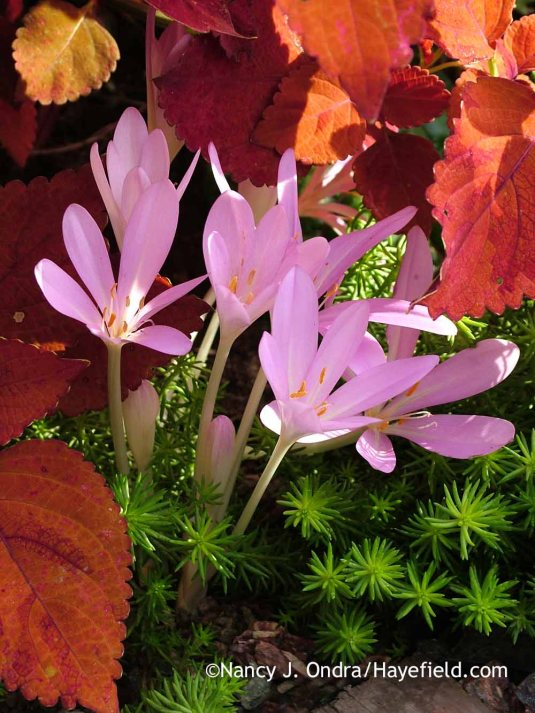 The fall flowers of the appropriately named autumn crocus (Crocus autumnale)--shown here with the coppery foliage of 'Sedona' coleus (Solenostemon scutellarioides) and chartreusy 'Angelina' sedum (Sedum rupestre)--are a lovely surprise in the late-season garden. [Nancy J. Ondra at Hayefield]