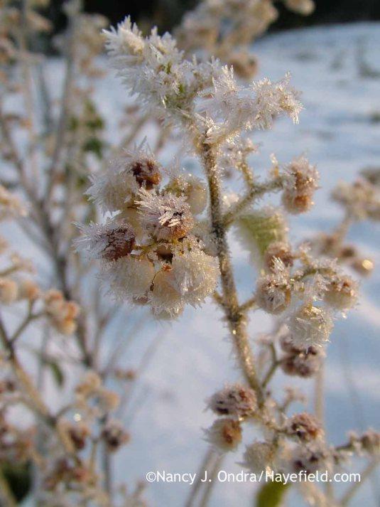 White-fruited purple beautyberry (Callicarpa dichotoma f. albifructa) [December 31, 2011]; Nancy J. Ondra at Hayefield