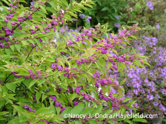 'Issai' purple beautyberry (Callicarpa dichotoma) against aromatic aster (Symphyotrichum oblongifolium) [October 8, 2012]; Nancy J. Ondra at Hayefield