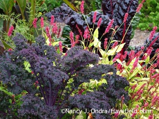 'Redbor' kale with 'Golden Arrow' mountain fleeceflower (Persicaria amplexicaulis) [October 22, 2013]; Nancy J. Ondra at Hayefield