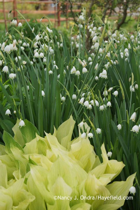 'Gravetye Giant' summer snowflake (Leucojum aestivum) with 'Mostly Ghostly' hosta (Hosta); Nancy J. Ondra at Hayefield