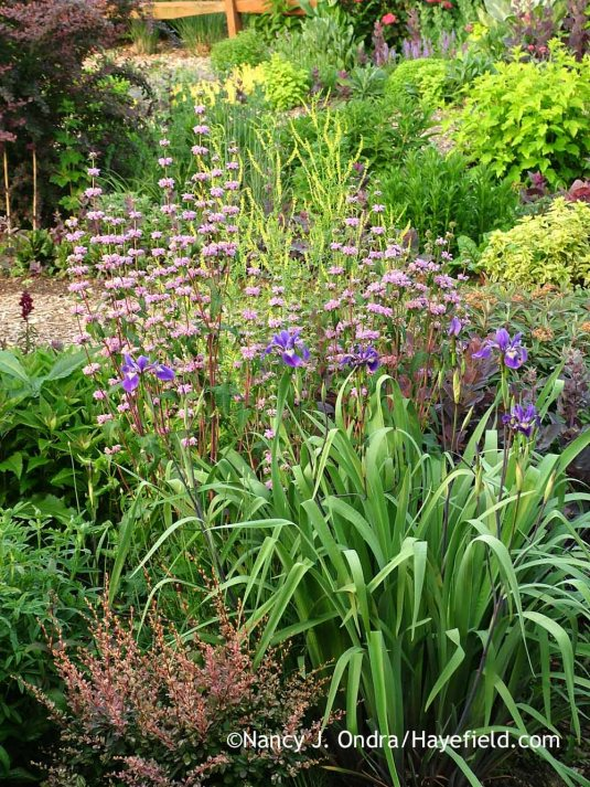 Tuberous-rooted Jerusalem sage (Phlomis tuberosa) with 'Gerald Darby' iris (Iris x robusta) [June 6, 2013]; Nancy J. Ondra at Hayefield