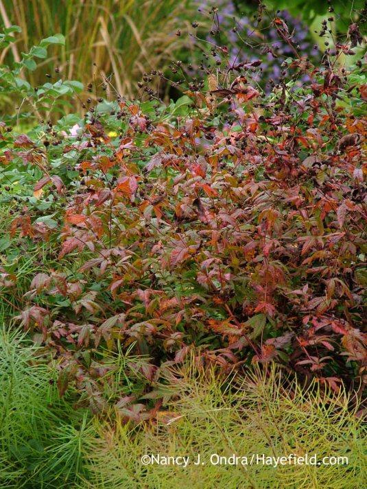 American ipecac (Porteranthus stipulatus) in fall color with Arkansas bluestar (Amsonia hubrichtii) [October 9, 2013]; Nancy J. Ondra at Hayefield