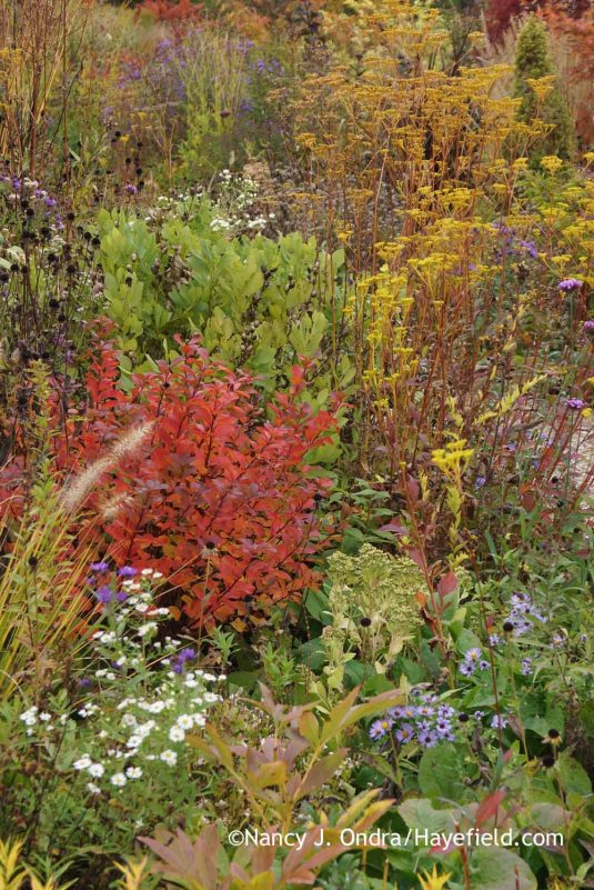 'Tor' birchleaf spirea (Spiraea betulifolia) in fall color with asters (Symphyotrichum), Sedum alboroseum 'Mediovariegatum', golden lace (Patrinia scabiosifolia), and yellow false indigo (Baptisia sphaerocarpa) [October 13, 2014]; Nancy J. Ondra at Hayefield