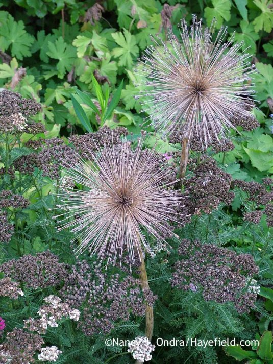 If your summers aren't too wet, the large-flowered alliums can dry well and last a surprisingly long time. This shot includes the seedheads of 'Ambassador' allium (Allium) and 'Saucy Seduction' yarrow (Achillea); Nancy J. Ondra at Hayefield