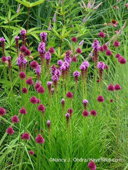 The sturdy, vertical stems of spike blazing star (Liatris spicata) did a much better job keeping the drumstick allium (Allium sphaerocephalum) stems upright. [Nancy J. Ondra at Hayefield]