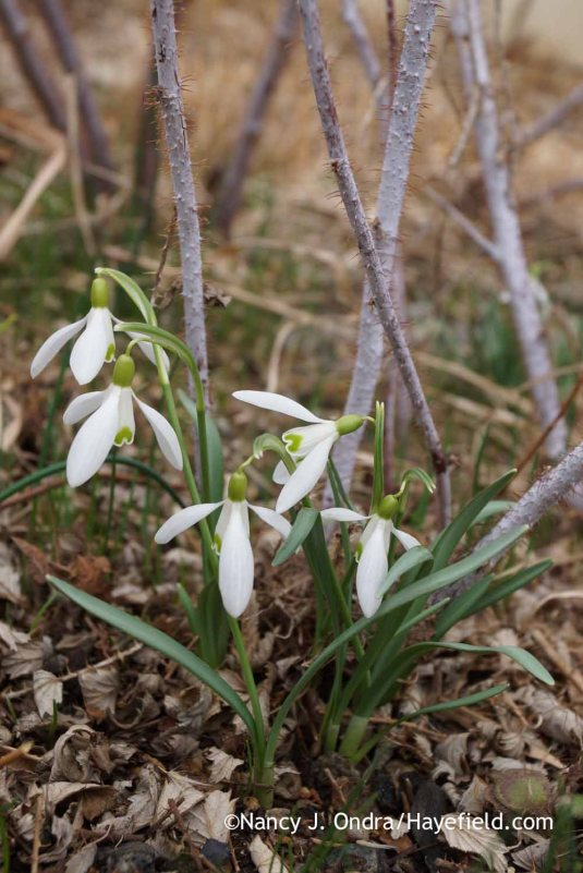 Common snowdrops (Galanthus nivalis) with the stems of ghost bramble (Rubus thibetanus); Nancy J. Ondra at Hayefield