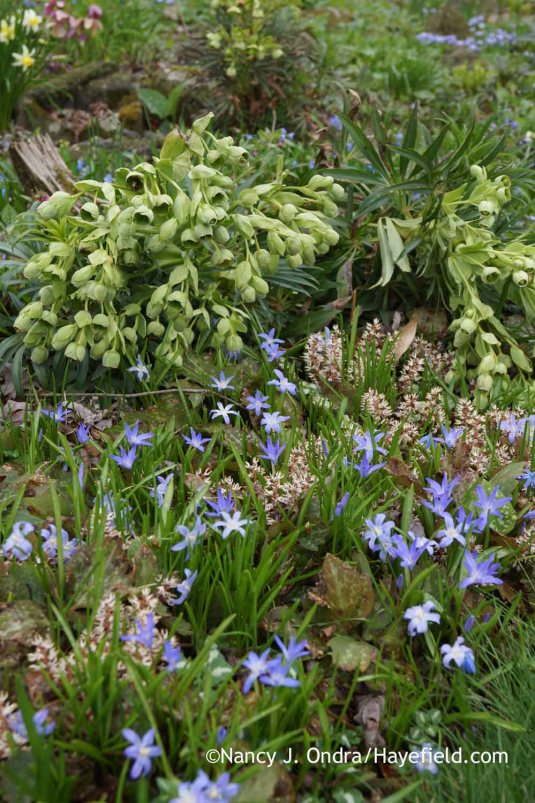 Bearsfoot hellebore (Helleborus foetidus) with Allegheny pachysandra (Pachysandra procumbens) and glory-of-the-snow (Chionodoxa luciliae); Nancy J. Ondra at Hayefield